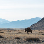 A Camel in the plains of Mongolia… showing how many trees there are in the area :)